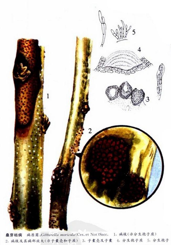 果桑的桑芽枯病的防治