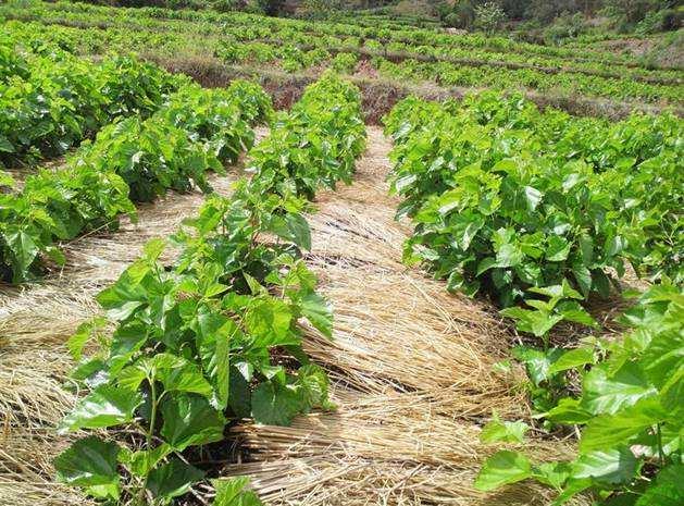 稻草覆盖果桑园除草法,不用除草剂