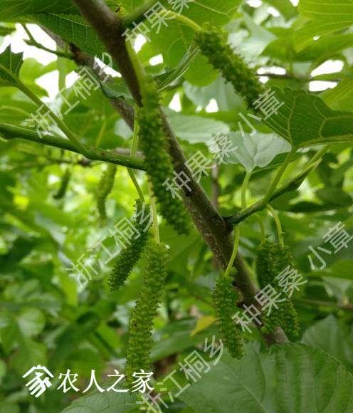 喜马拉雅白长果桑(香金葚),一种有牛奶香味的珍稀品种