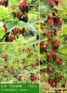果桑种植的5大要点