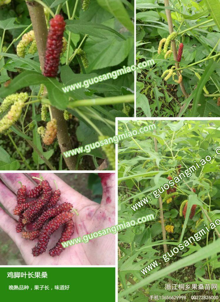 最新果桑品种,现在有那些好的新品种果桑,哪里的桑葚果树新品种好