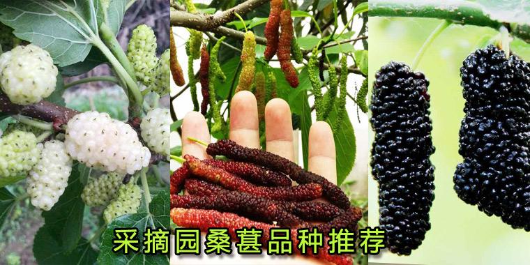 桑葚采摘园果桑品种的选择